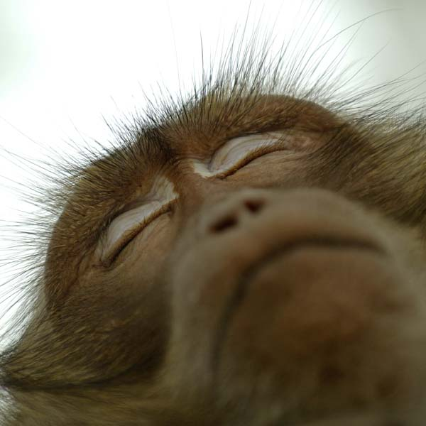 Monkey looking up with eyes closed