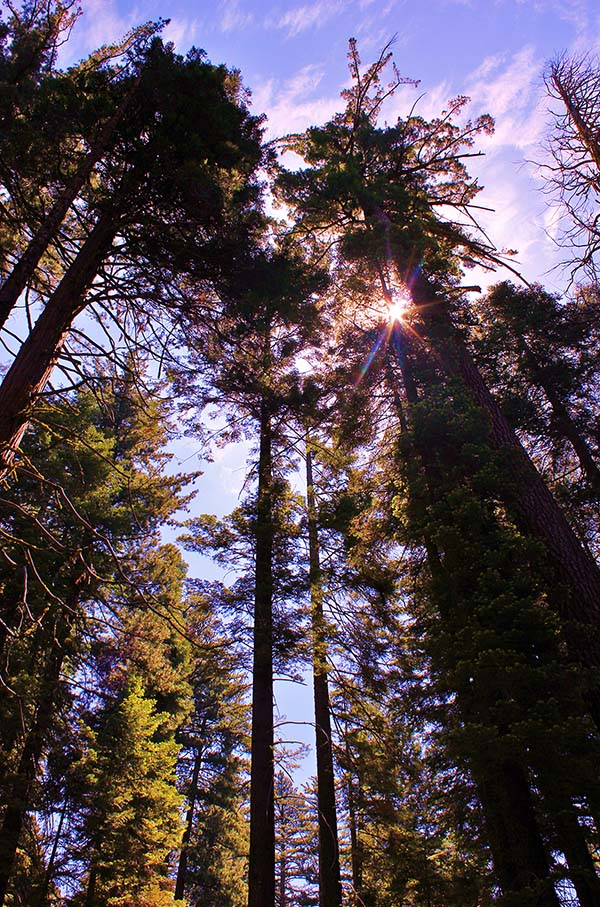 Looking up into giant sequoias