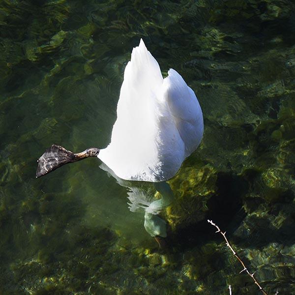 White swan feeding underwater