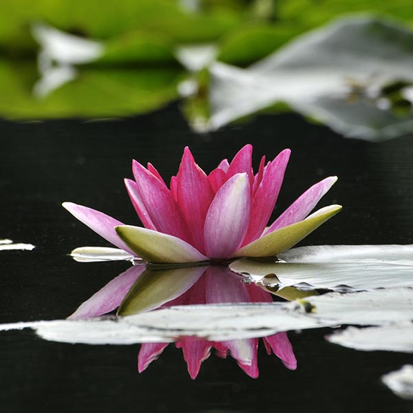 Water lily flower blossom
