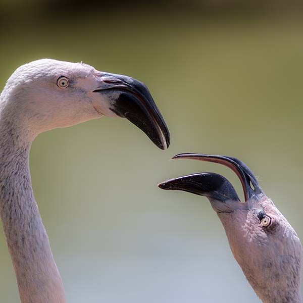 Two flamingos in discussion