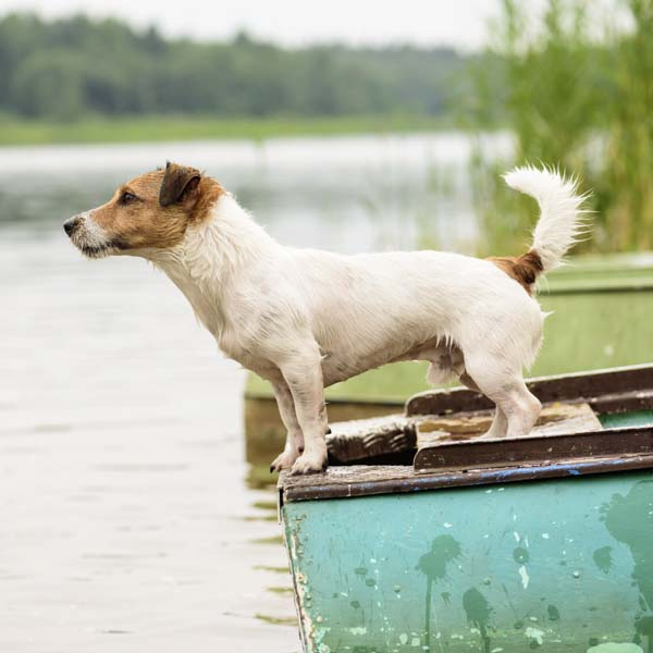 dog standing on bow of boat looking at the horizon