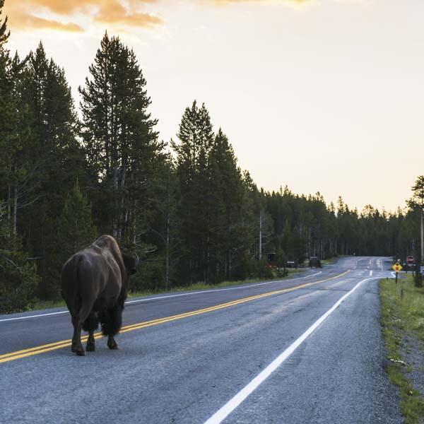 Buffalo walking down road