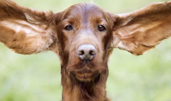 Irish setter with big wide open ears