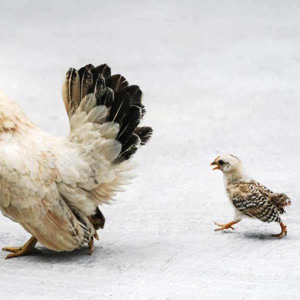 Baby chick following mother