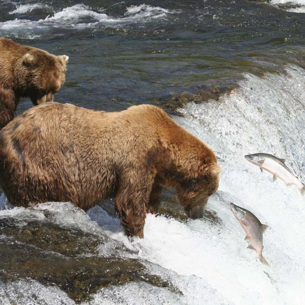 Bear in stream catching salmon