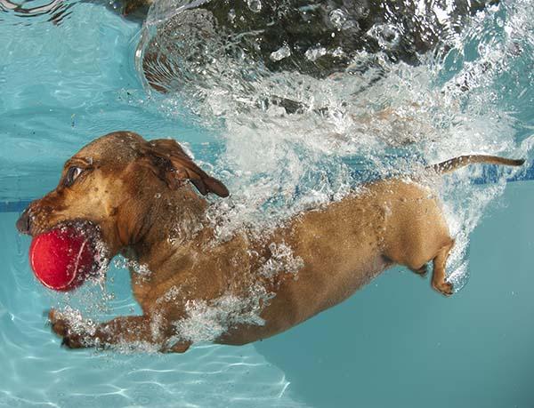 Dachshund retrieving ball underwater
