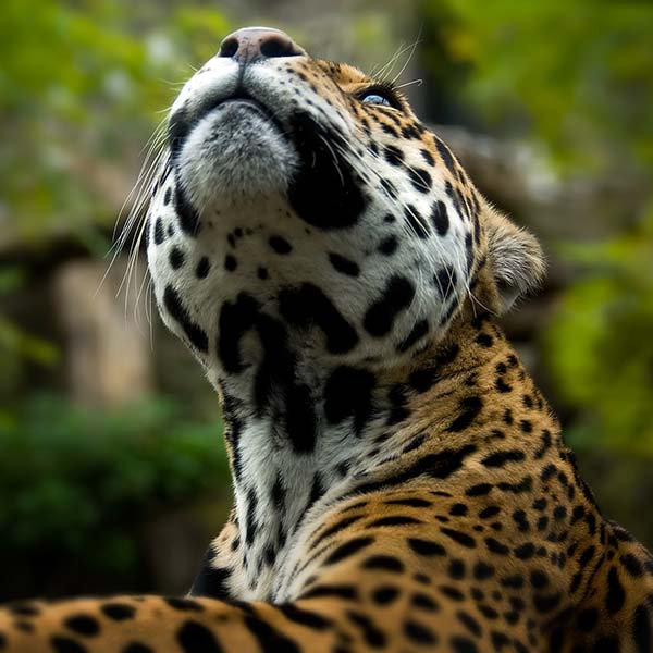 Jaguar looking up at sky