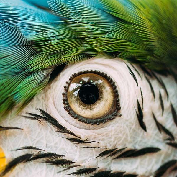 Close up of macaw eye