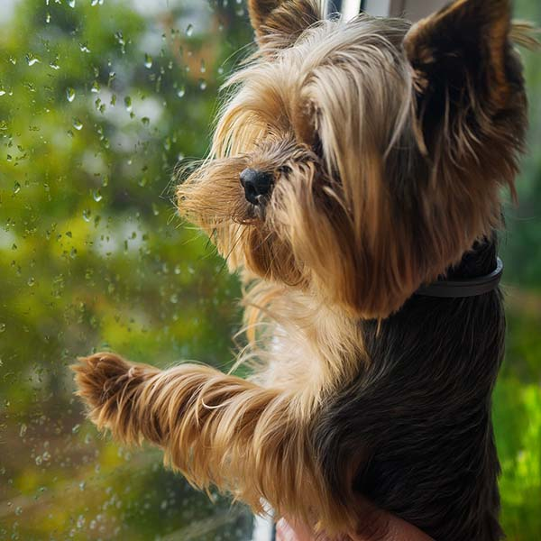 Little dog looking out through window at the rain