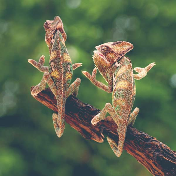 Two chameleons with arms raised