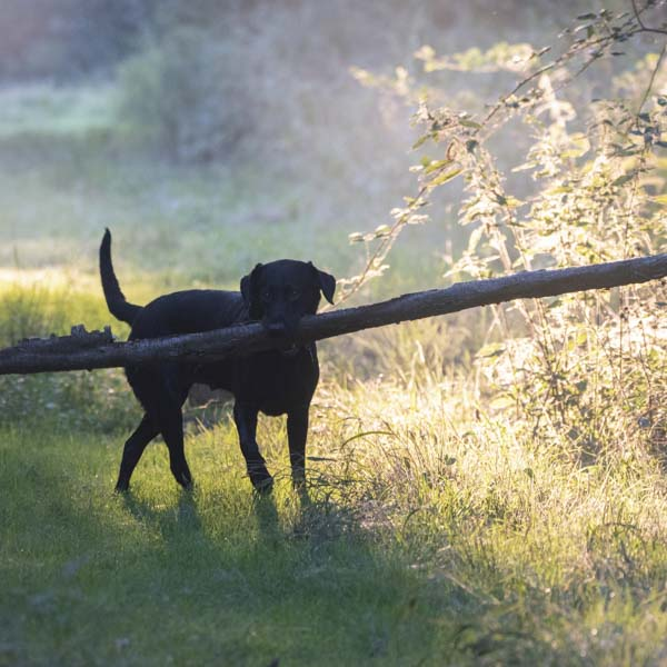 Black lab fetching big stick
