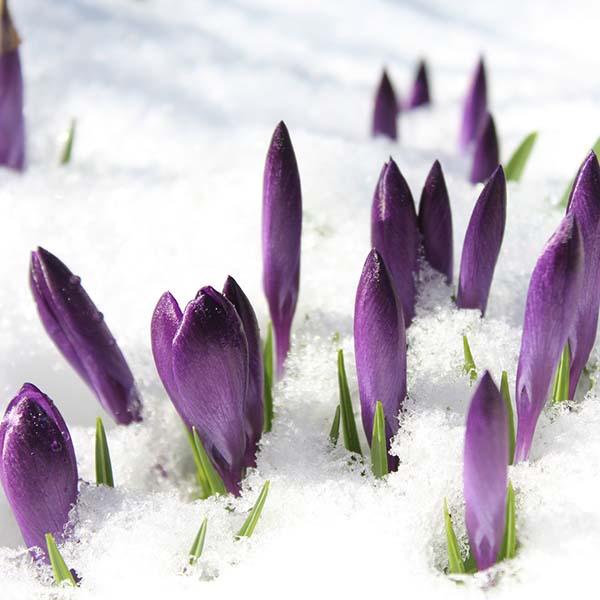 Crocus blooming in snow