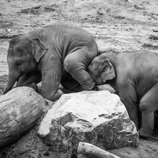 Elephant giving elephant a boost