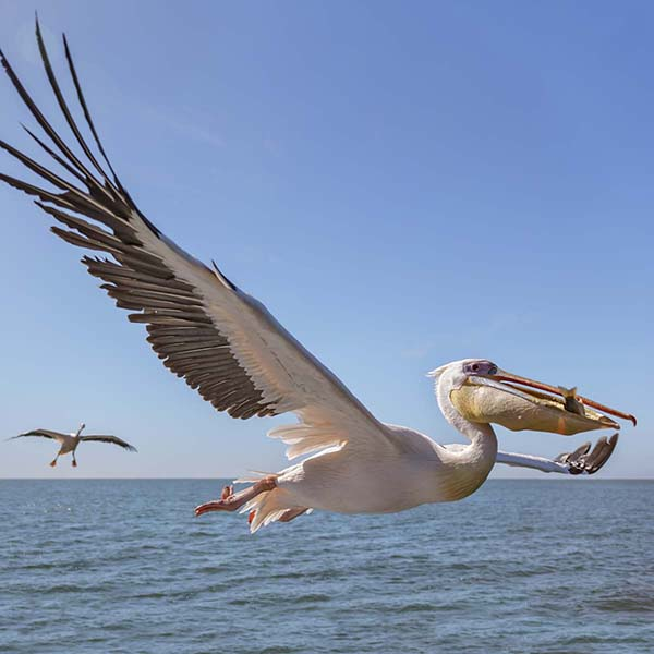 Pelican flying with mouthful of fish