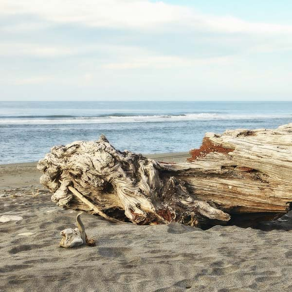 Beautiful large driftwood on beach