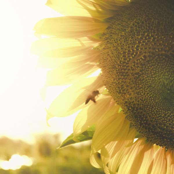 Sunflower with bee buzzing on it