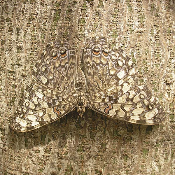 Moth blending in to bark of tree