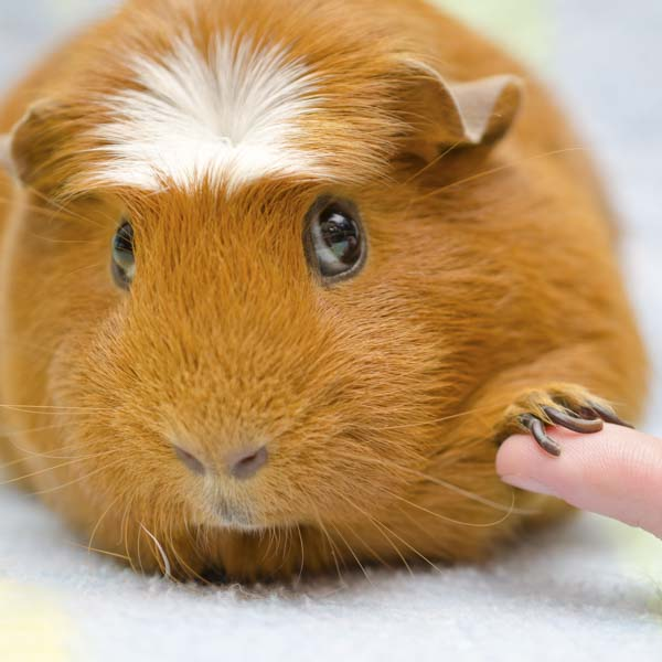 Guinea pig tentatively shaking hands with human friend