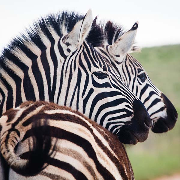 Two zebras hanging out