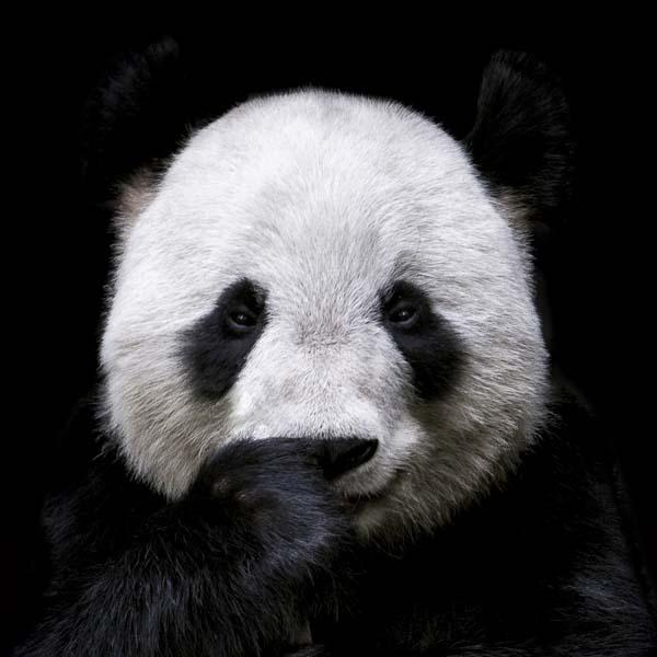 Panda holding finger under nose