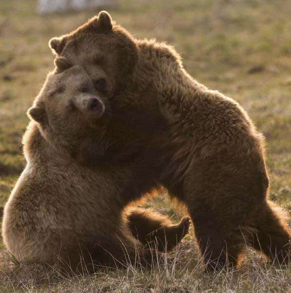 Two bears embracing