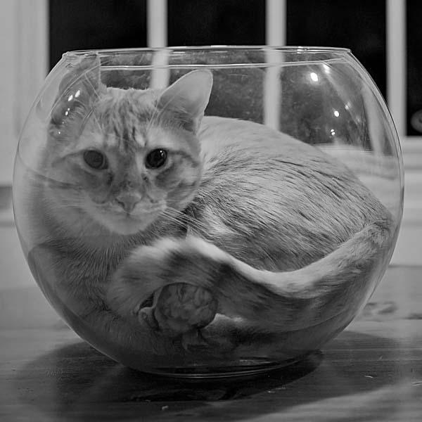 Cat inside fishbowl
