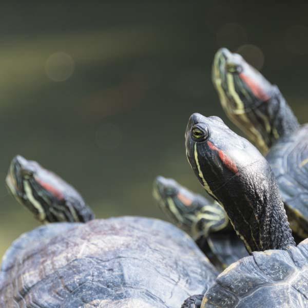 Turtles in pond looking up