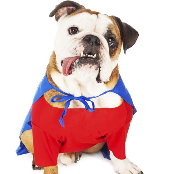Bulldog in superhero costume