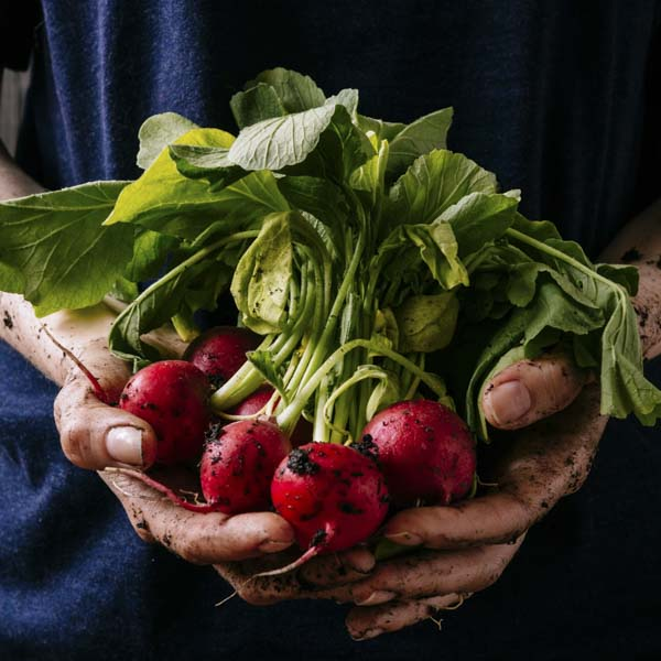 Dirty hands holding radishes fresh from the garden