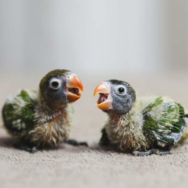 Two baby parrots