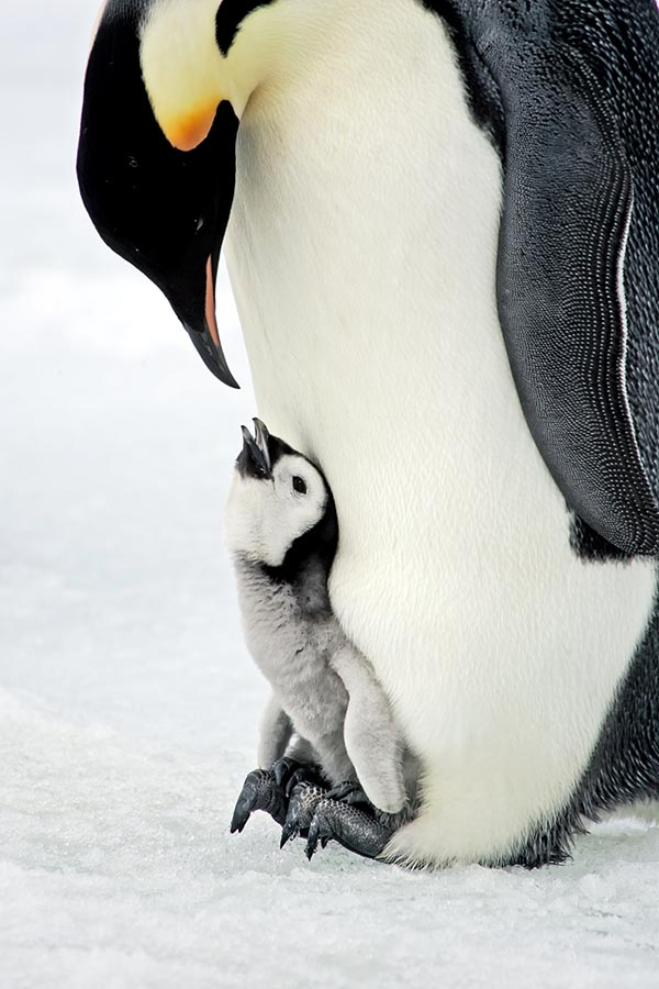 Mother penquin looking down at baby