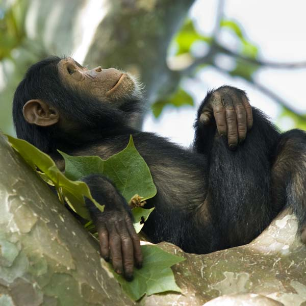 Chimp relaxing in tree and watching the sky