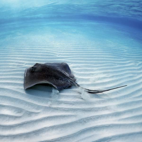 Stingray on the sandy bottom of the ocean