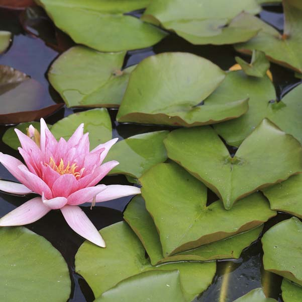 Heart shaped lotus