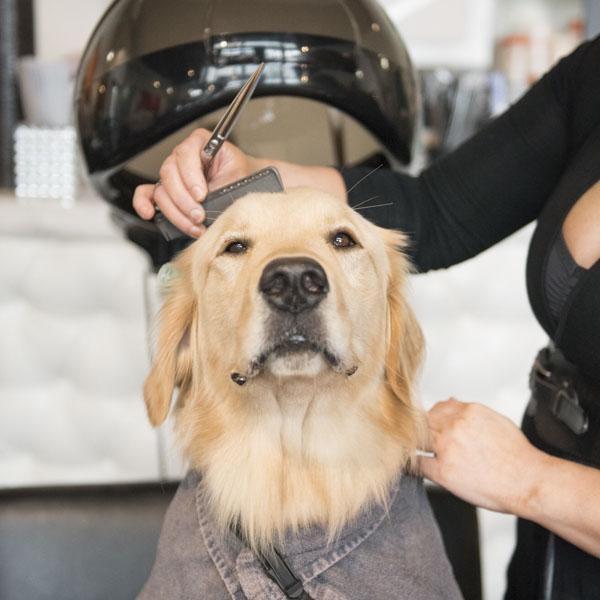 Golden retriever being groomed at salon