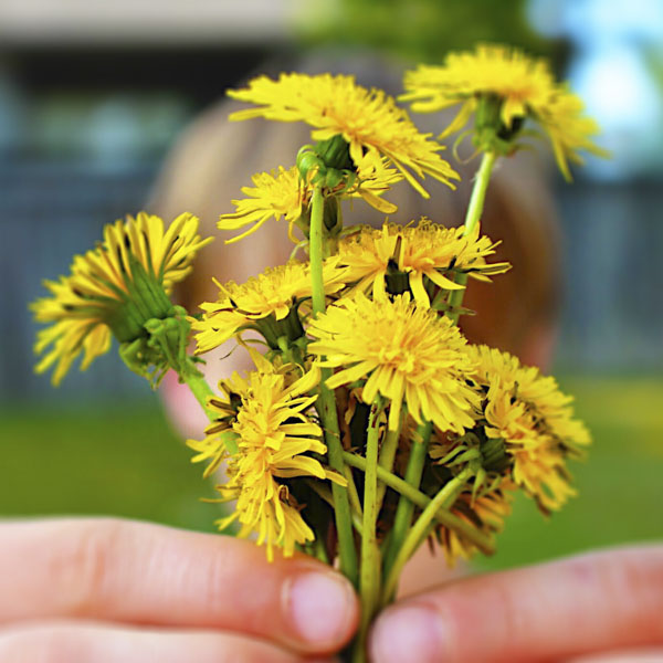 Child holding up bunch of dandelion flowers
