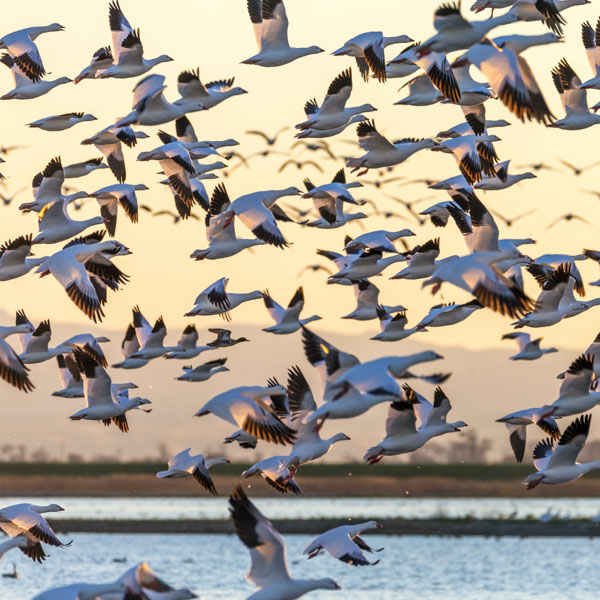 Sky filled with geese taking flight