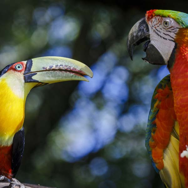 Toucan and Scarlet Macaw talking up in tree