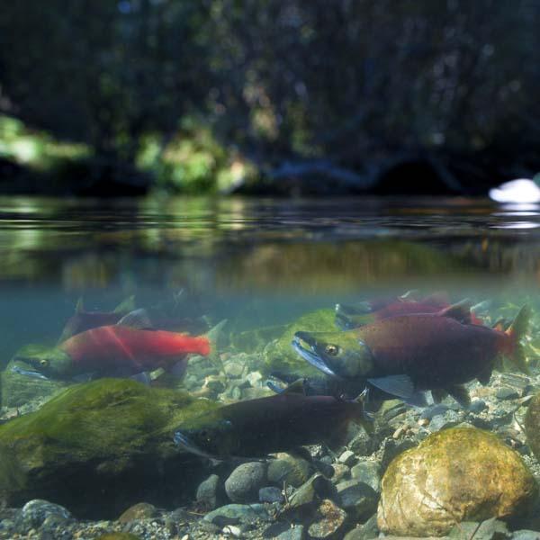 Kokanee salmon swimming upstream