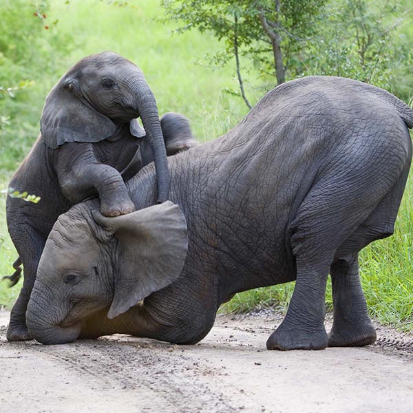 Mother elephant lifting her baby