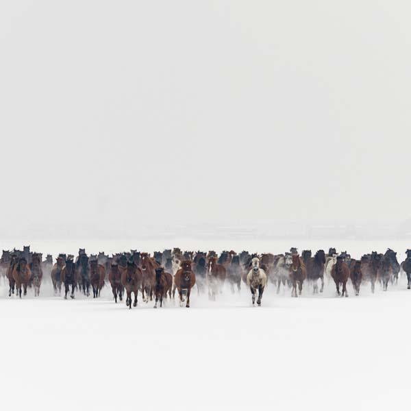 Herd of wild horses running in snow