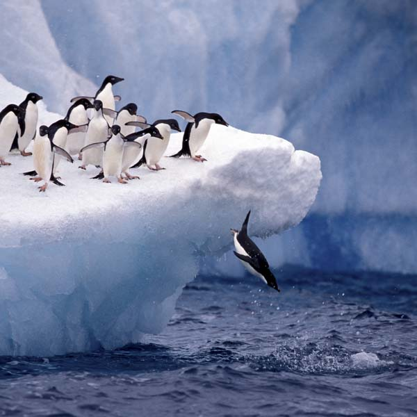 Penguin diving into ocean
