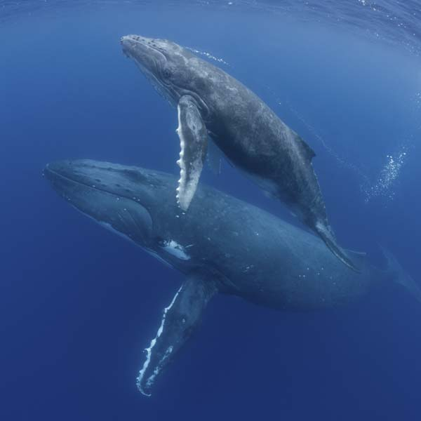 Mother humpback whale and baby