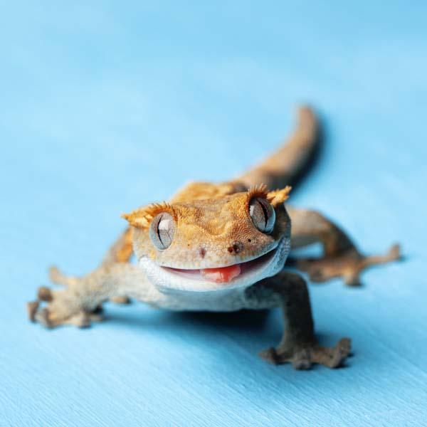 Lizard smiling