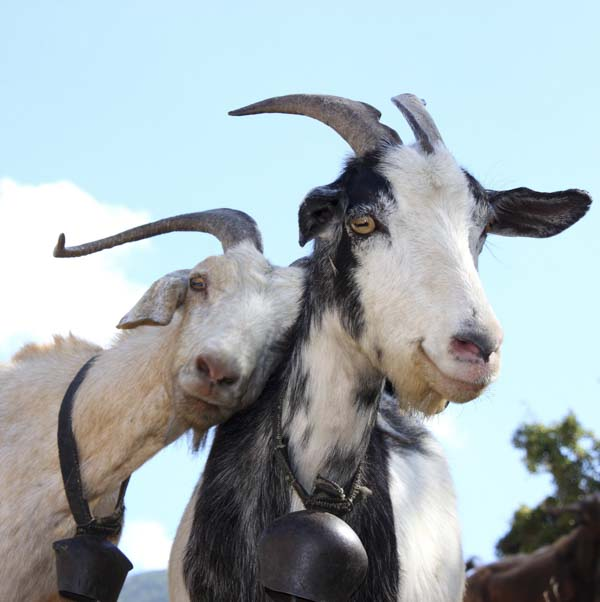 #spiritsays: Handsome old goat