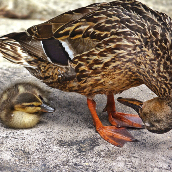 Mother duck looking under her body at her chick