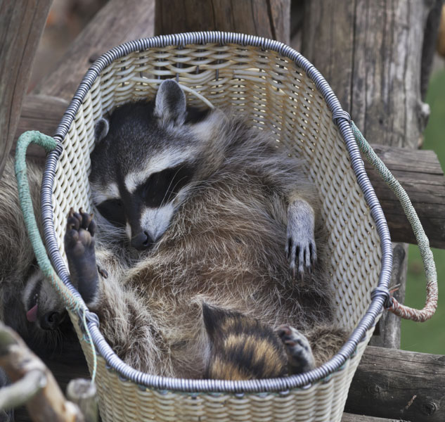 Baby raccoon sleeping in bicycle basket
