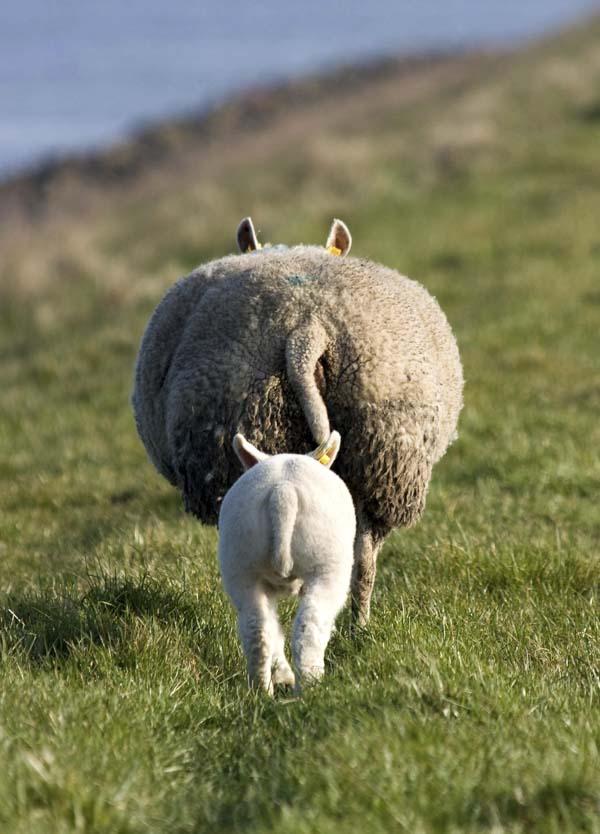 Lamb following its mother