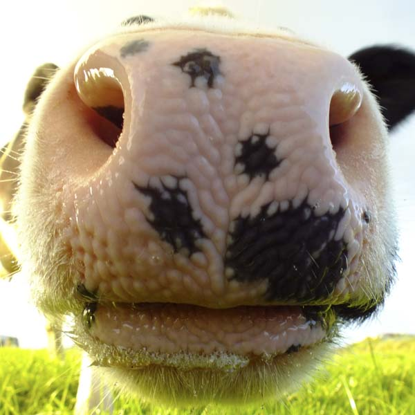 Close up of cow nose